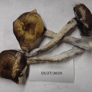 Buy Ecuador Strain Mushrooms